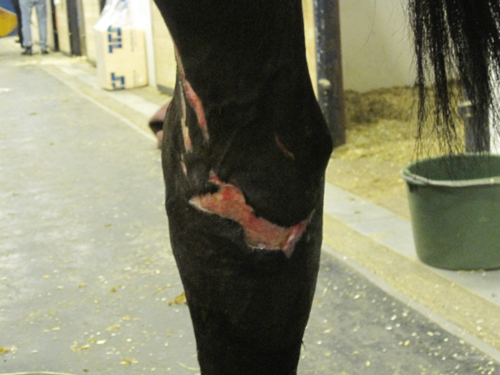 Hest med sårskade